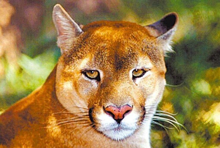 Famosos Conheça alguns animais ameaçados de extinção do Cerrado - Fotos  RK44