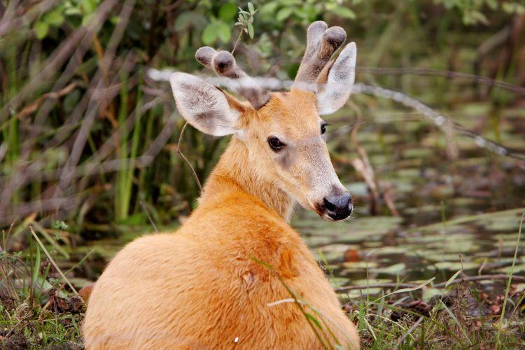 Famosos Conheça alguns animais ameaçados de extinção do Cerrado - Fotos  OX73