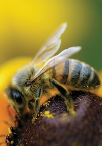 O veneno da abelha faria a pele reagir aumentando a produção de colágeno e a elasticidade da pele