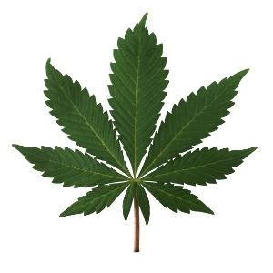 A principal diferença entre a nova planta é  onde ela tem menor quantidade de THC (tetrahidrocanabinol) e maior quantidade de cannabidiol em comparação aoa droga original