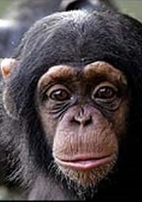 Filhotes fêmeas de chimpanzés parecem tratar pedaços de pau como bonecas, carregando-os até terem seus próprios filhotes