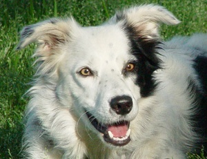 A cachorra Chaser que reconhece mais de mil  objetos