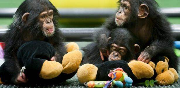 Patin, Emslee e Arielle são chimpanzés do Centro de Pesquisa New Iberia