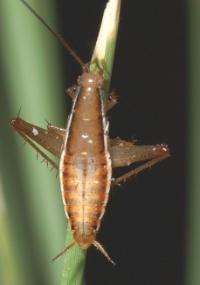 O bicho recém-descoberto se parece com uma barata, mas se comporta como um gafanhoto