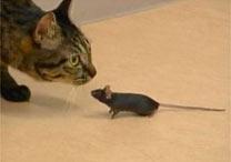 Ao chegar perto do felino, o rato não corre nem se finge de morto