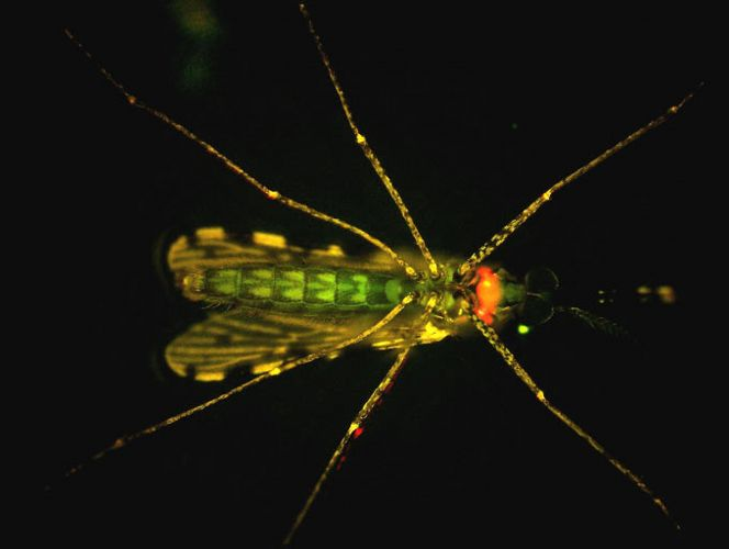 Mosquito transgênico