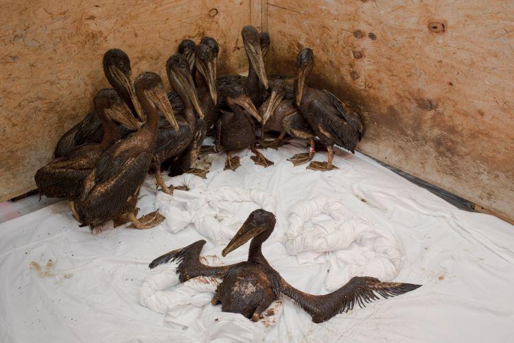Pelicanos cobertos de petróleo