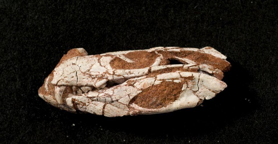 Ancestral de crocodilo 2