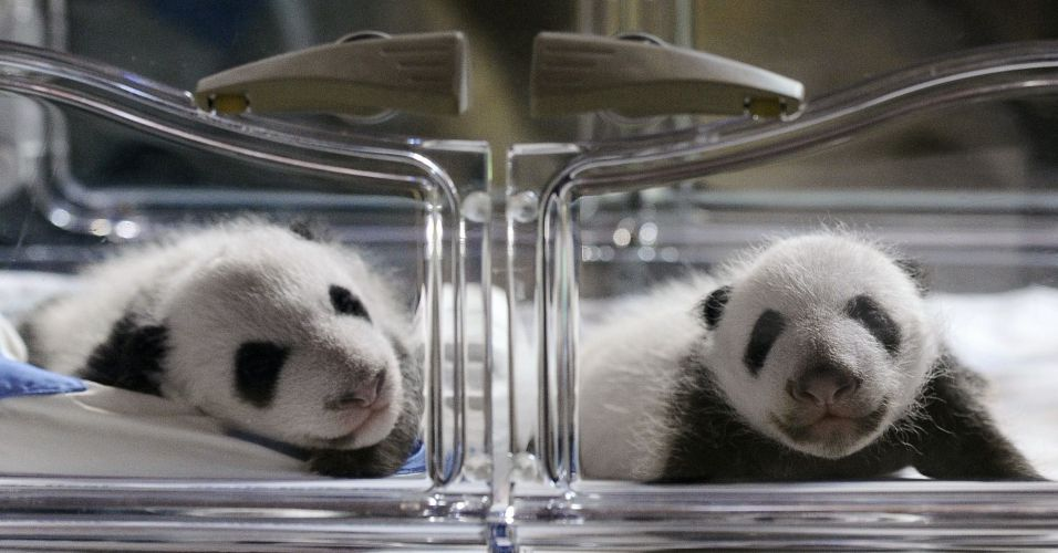 Pandas nascem por inseminação artificial na Espanha