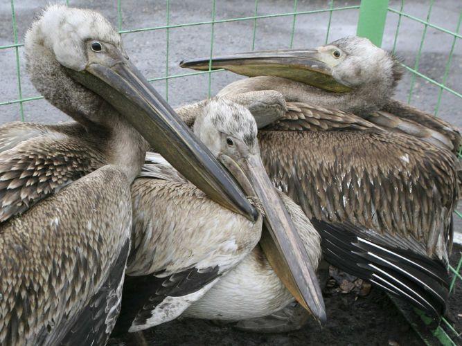 Pelicanos perdidos