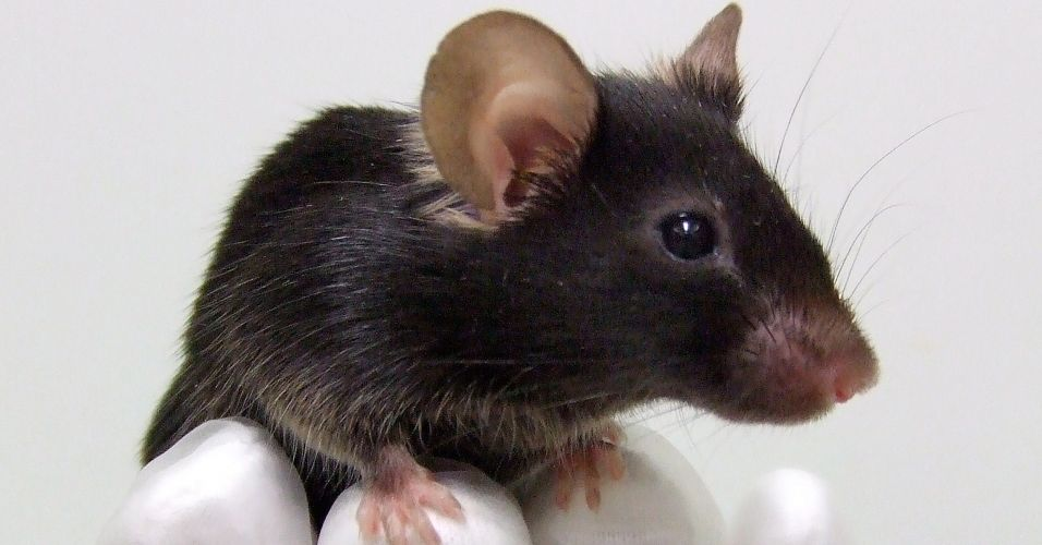 Rato que pia