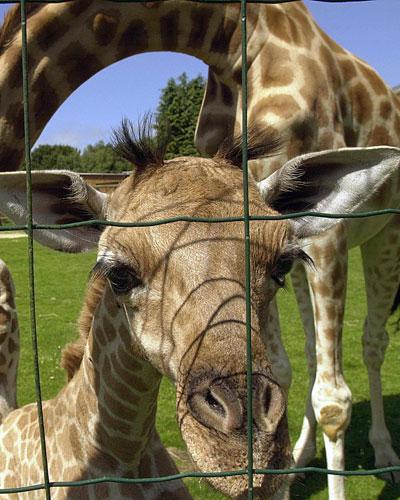 Girafa peralta