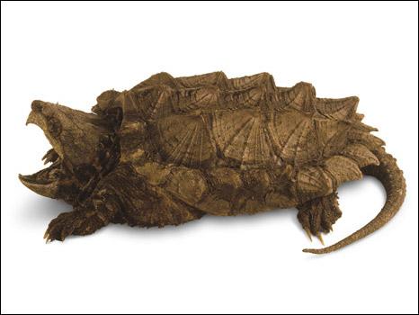 Tartaruga-aligator
