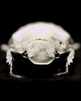 Besouro fantasma 'Asbolus verrucosus'