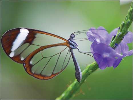 Borboletas com asas de vidro