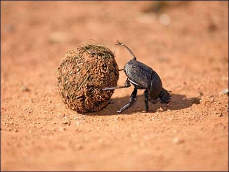 Escaravelhos sagrados