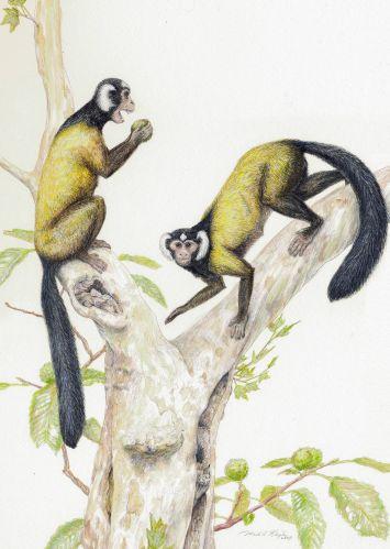 Primatas da Ásia