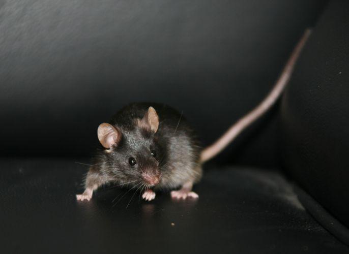Ratos com células da pele