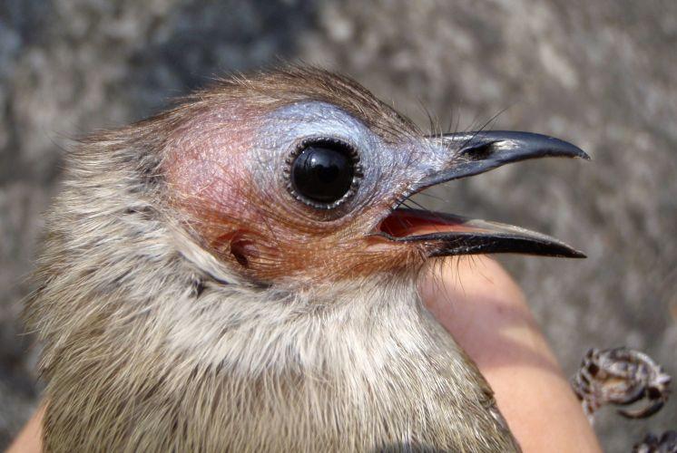 Nova espécie de pássaro