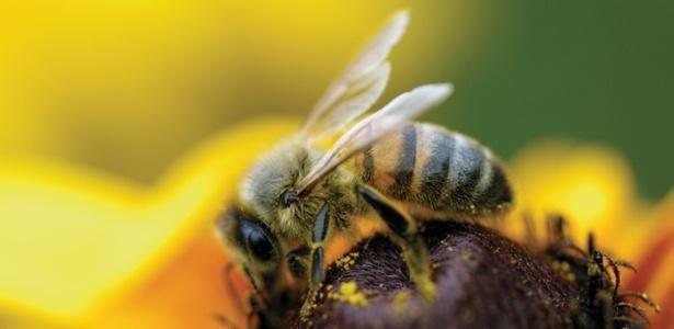 Para desenvolver as doses experimentais, os pesquisadores utilizaram o veneno total da abelha - Getty Images