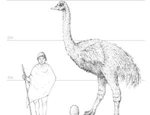 Desenho de um pássaro-elefante, do gênero <i>Aepyornis</i>, que  chegava a três metros de altura