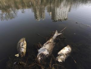 Para cada 1.000 litros de água utilizada pelo homem, há 10.000 litros de água poluída, segundo a ONU. Na foto, peixes mortos flutuam no rio Hefei, em Anhui, na China, no dia 19 de março, três dias antes do Dia Mundial da Água