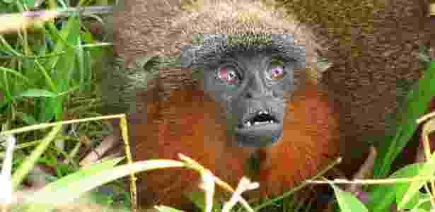 Apesar de recém-descoberto, o macaco já está ameaçado de extinção; veja álbum do mês - Javier Garcia/CI
